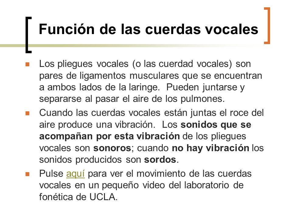 Función de las cuerdas vocales Los pliegues vocales (o las cuerdad vocales) son pares de ligamentos musculares que se encuentran a ambos lados de la l