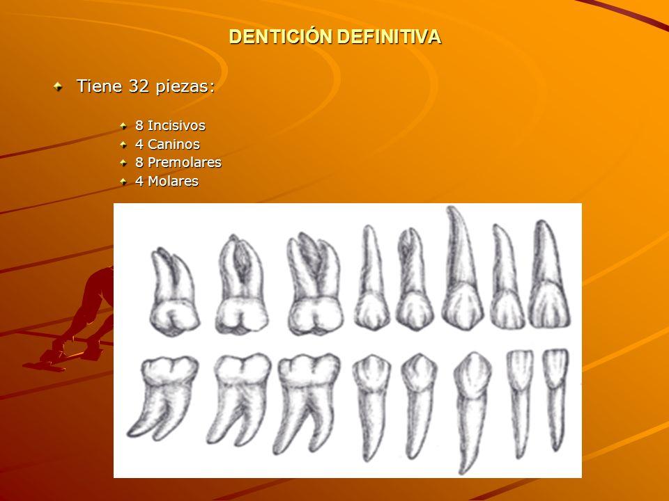 DENTICIÓN DEFINITIVA Tiene 32 piezas: 8 Incisivos 4 Caninos 8 Premolares 4 Molares