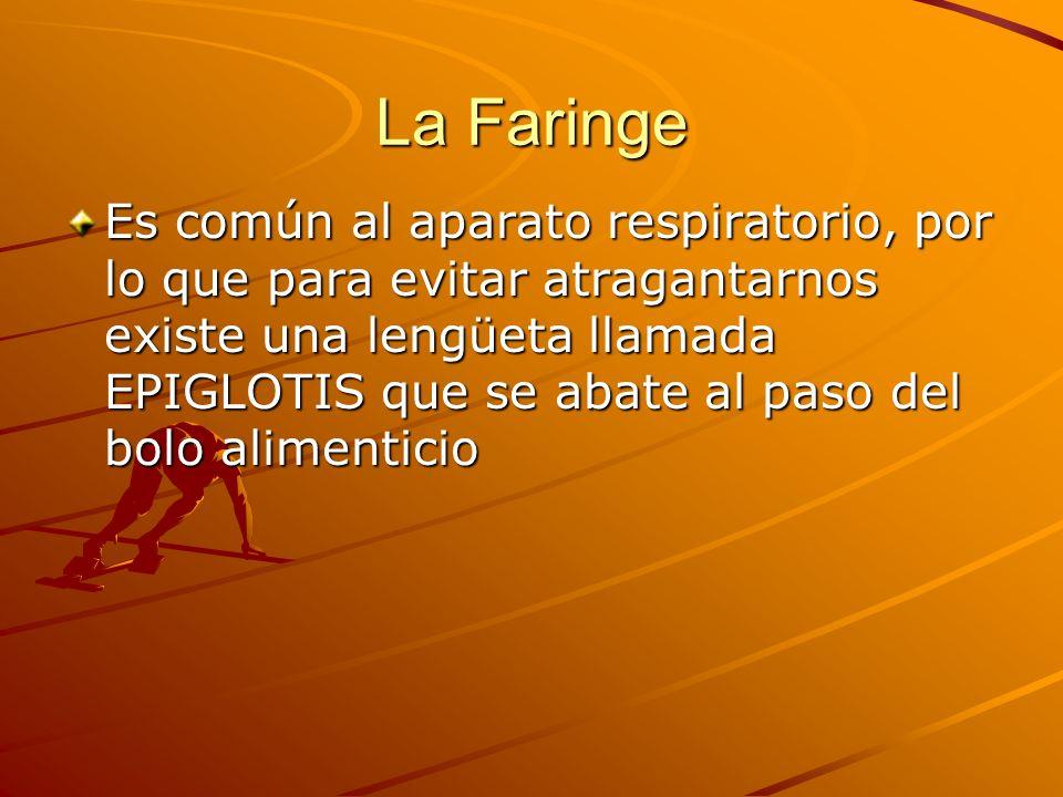 La Faringe Es común al aparato respiratorio, por lo que para evitar atragantarnos existe una lengüeta llamada EPIGLOTIS que se abate al paso del bolo