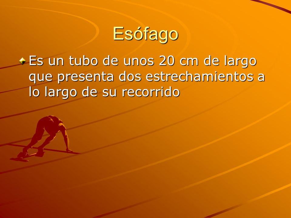 Esófago Es un tubo de unos 20 cm de largo que presenta dos estrechamientos a lo largo de su recorrido