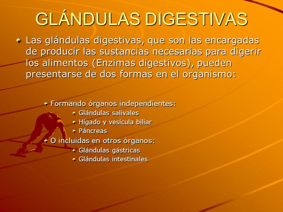 GLÁNDULAS DIGESTIVAS Las glándulas digestivas, que son las encargadas de producir las sustancias necesarias para digerir los alimentos (Enzimas digest