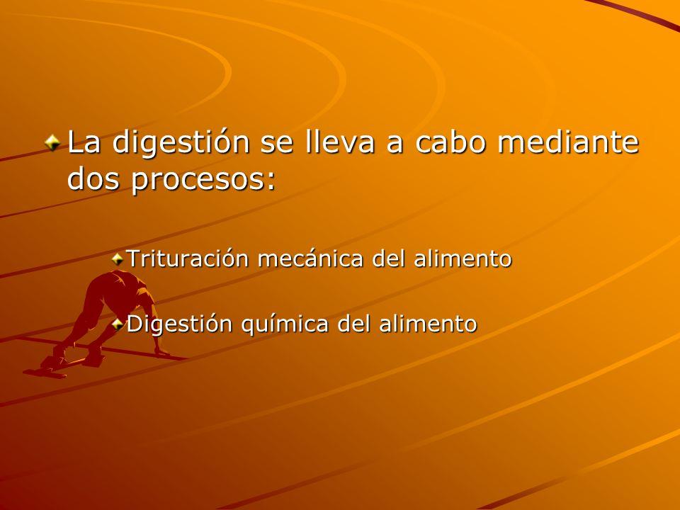 La digestión se lleva a cabo mediante dos procesos: Trituración mecánica del alimento Digestión química del alimento