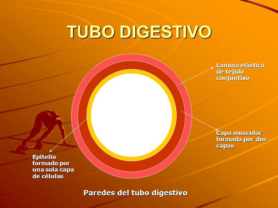 TUBO DIGESTIVO Paredes del tubo digestivo Lamina elástica de tejido conjuntivo Capa muscular formada por dos capas Epitelio formado por una sola capa