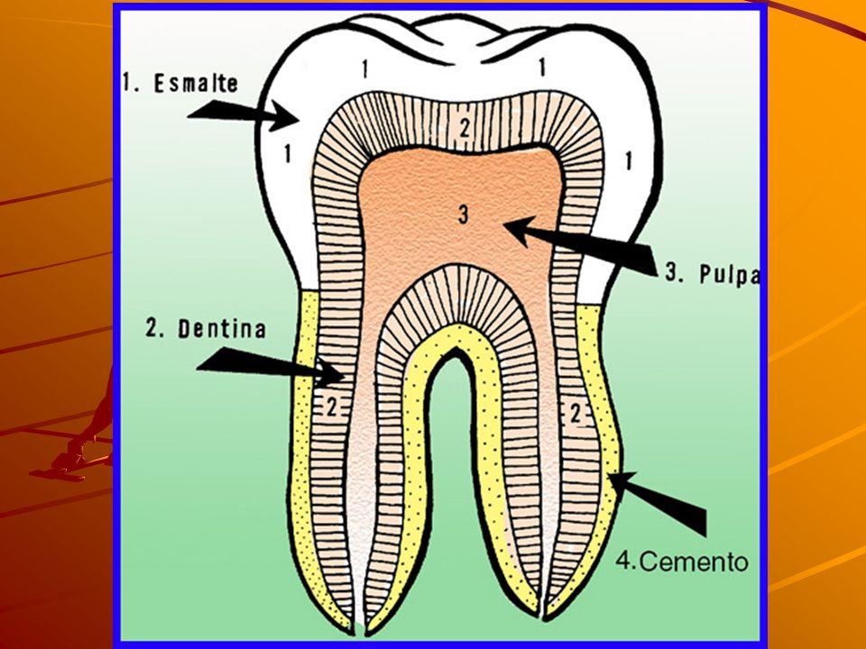 Los dientes están encajados en unos huecos de los maxilares (Los alvéolos) Hay cuatro tipos de dientes: INCISIVOSCANINOSPREMOLARESMOLARES