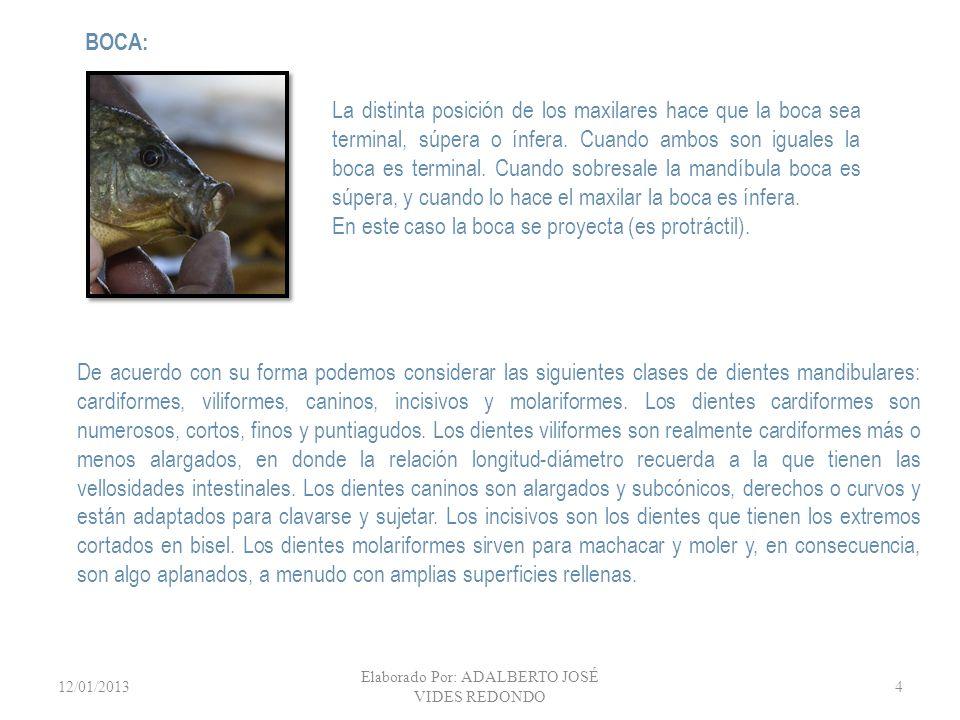 12/01/2013 Elaborado Por: ADALBERTO JOSÉ VIDES REDONDO 4 BOCA: La distinta posición de los maxilares hace que la boca sea terminal, súpera o ínfera. C