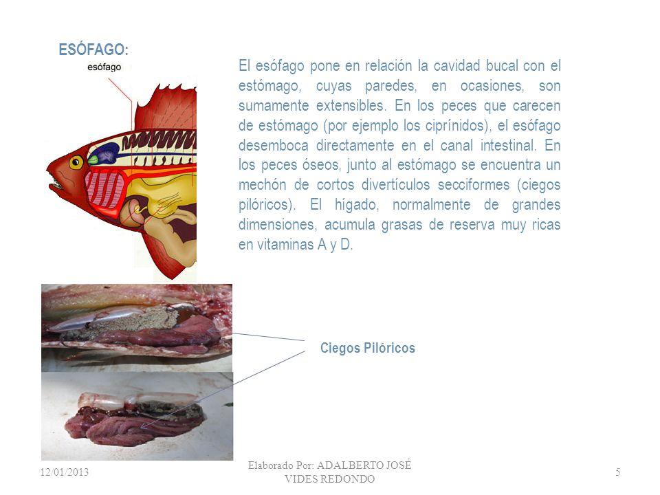 12/01/2013 Elaborado Por: ADALBERTO JOSÉ VIDES REDONDO 5 El esófago pone en relación la cavidad bucal con el estómago, cuyas paredes, en ocasiones, so