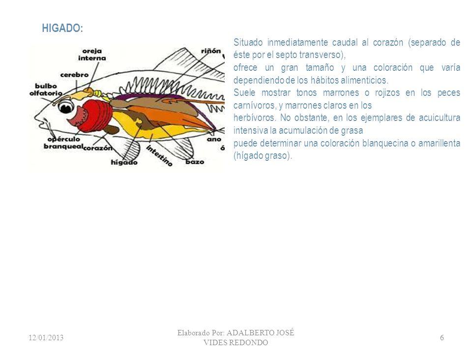12/01/2013 Elaborado Por: ADALBERTO JOSÉ VIDES REDONDO 7 Ejemplar de tilapia mostrando su intestino largo, característica de un pez herbívoro.