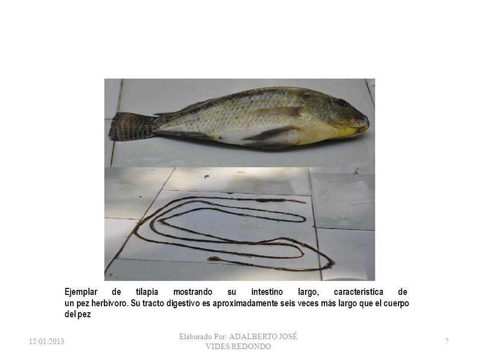 12/01/2013 Elaborado Por: ADALBERTO JOSÉ VIDES REDONDO 7 Ejemplar de tilapia mostrando su intestino largo, característica de un pez herbívoro. Su trac