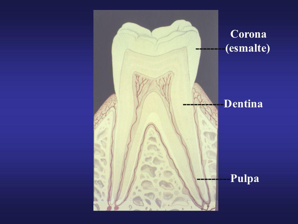 Corona --------(esmalte) -----------Dentina ---------Pulpa