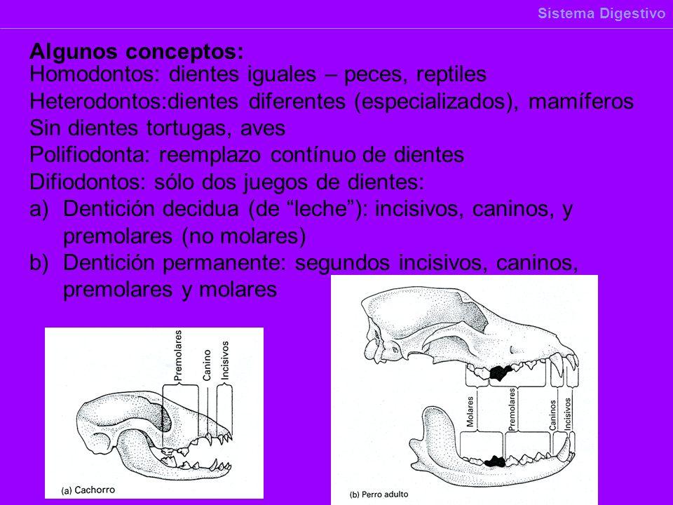 Homodontos: dientes iguales – peces, reptiles Heterodontos:dientes diferentes (especializados), mamíferos Sin dientes tortugas, aves Polifiodonta: ree