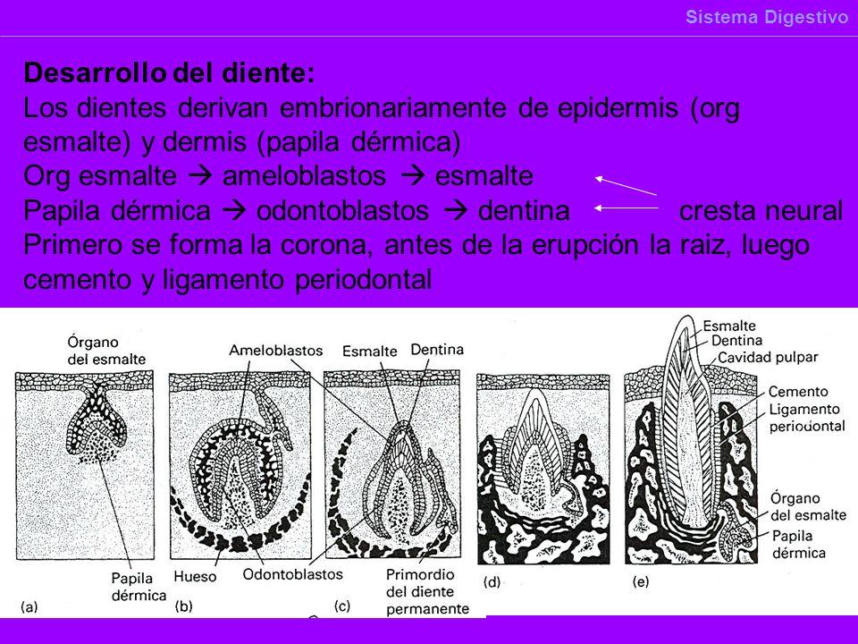Desarrollo del diente: Los dientes derivan embrionariamente de epidermis (org esmalte) y dermis (papila dérmica) Org esmalte ameloblastos esmalte Papi