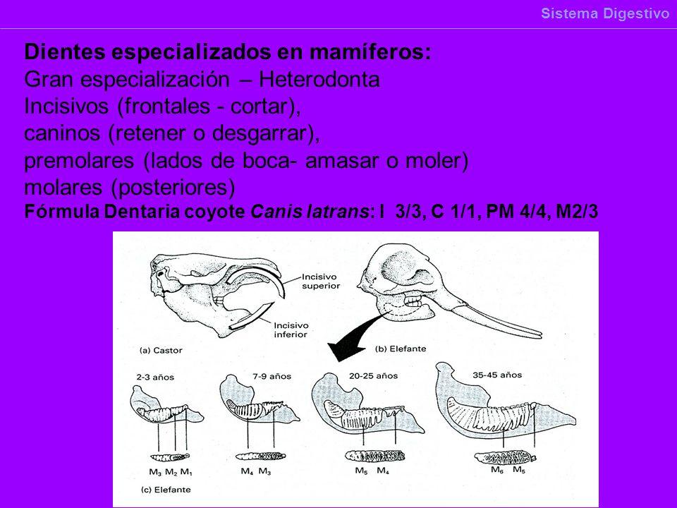 Dientes especializados en mamíferos: Gran especialización – Heterodonta Incisivos (frontales - cortar), caninos (retener o desgarrar), premolares (lad