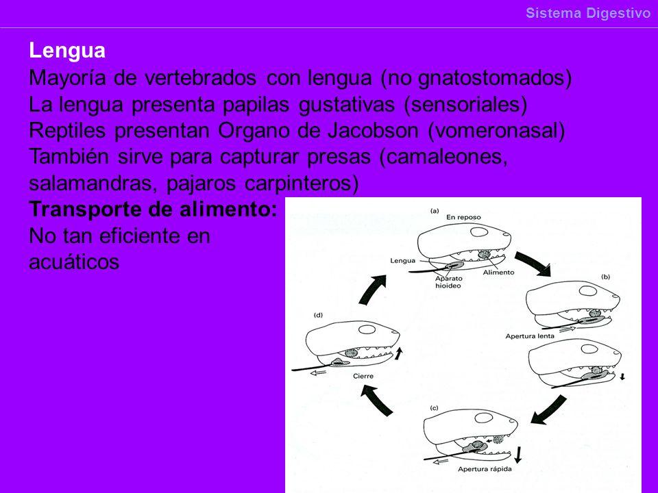 Mayoría de vertebrados con lengua (no gnatostomados) La lengua presenta papilas gustativas (sensoriales) Reptiles presentan Organo de Jacobson (vomero