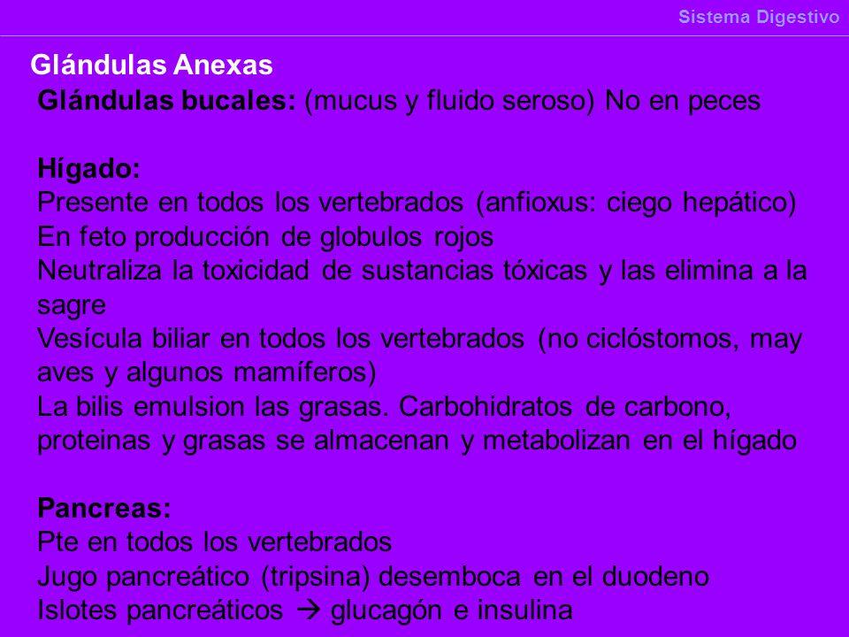 Sistema Digestivo Glándulas Anexas Glándulas bucales: (mucus y fluido seroso) No en peces Hígado: Presente en todos los vertebrados (anfioxus: ciego h