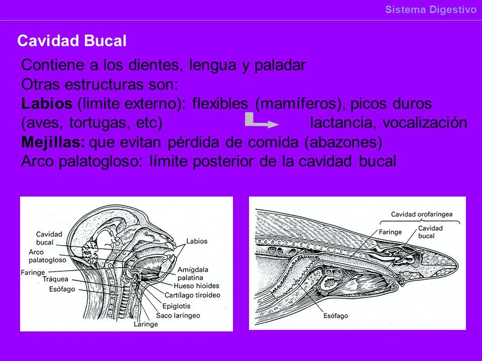 Contiene a los dientes, lengua y paladar Otras estructuras son: Labios (limite externo): flexibles (mamíferos), picos duros (aves, tortugas, etc)lacta