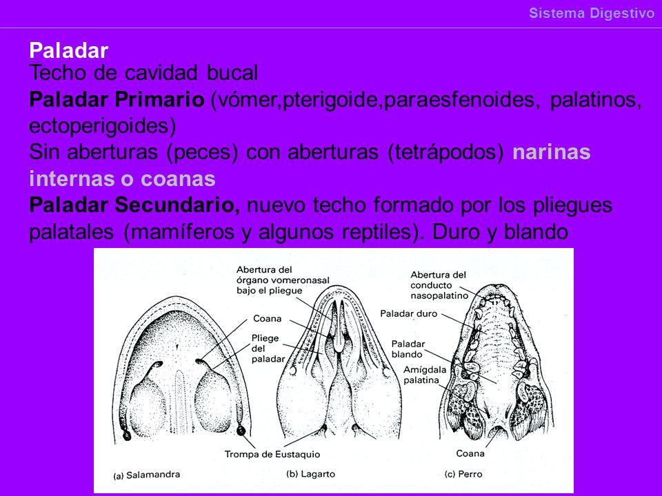Techo de cavidad bucal Paladar Primario (vómer,pterigoide,paraesfenoides, palatinos, ectoperigoides) Sin aberturas (peces) con aberturas (tetrápodos)