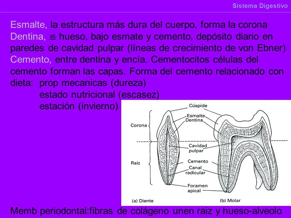 Esmalte, la estructura más dura del cuerpo, forma la corona Dentina, hueso, bajo esmate y cemento, depósito diario en paredes de cavidad pulpar (línea