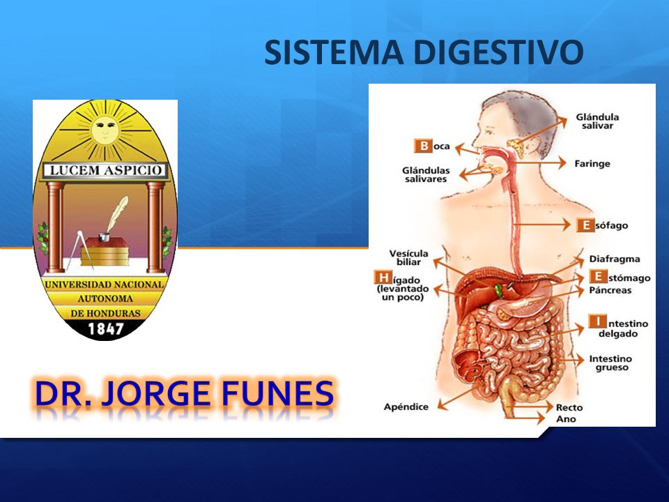 El Sistema Digestivo esta compuesto por el Tubo Digestivo que se extiende desde los Labios hasta el Ano y varias Glándulas anexas que están ubicadas fuera de la pared del tracto digestivo que vierten sus secreciones en su interior.