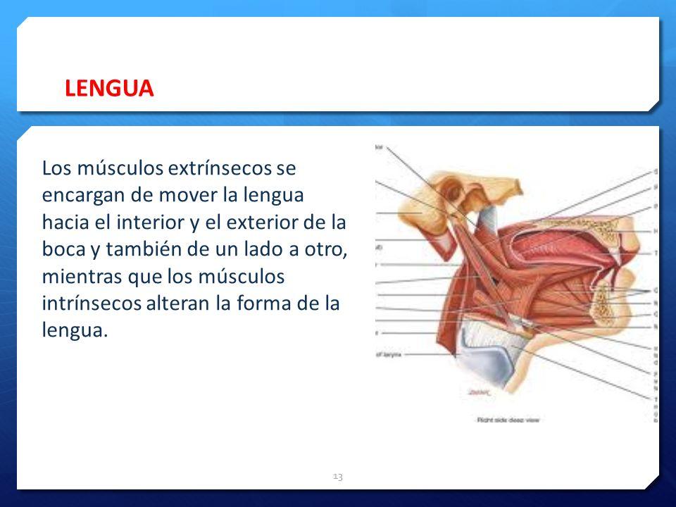 LENGUA 13 Los músculos extrínsecos se encargan de mover la lengua hacia el interior y el exterior de la boca y también de un lado a otro, mientras que