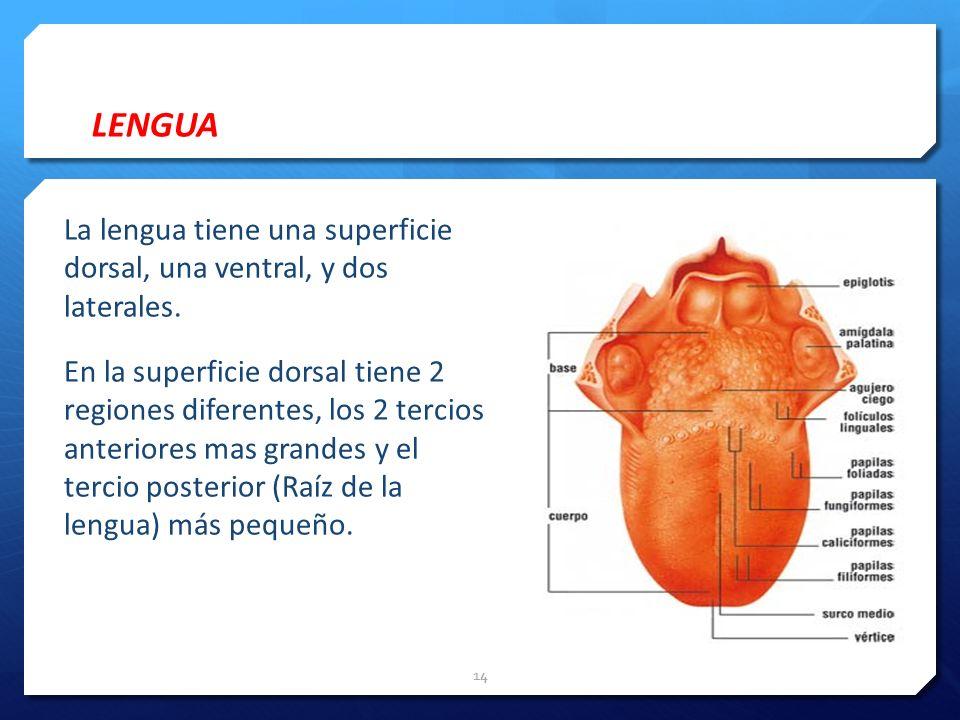 LENGUA La lengua tiene una superficie dorsal, una ventral, y dos laterales. En la superficie dorsal tiene 2 regiones diferentes, los 2 tercios anterio