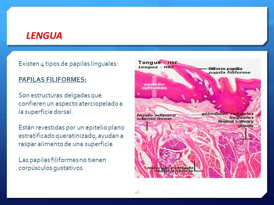 LENGUA Existen 4 tipos de papilas linguales: PAPILAS FILIFORMES: Son estructuras delgadas que confieren un aspecto aterciopelado a la superficie dorsa