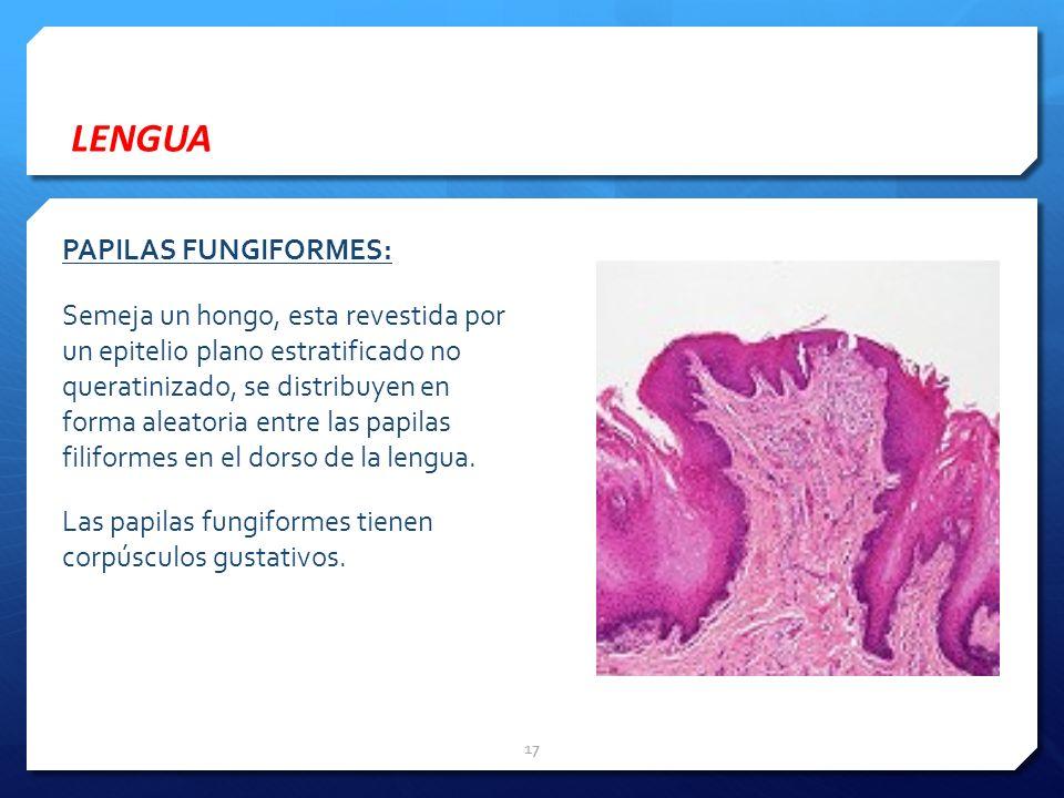 LENGUA PAPILAS FUNGIFORMES: Semeja un hongo, esta revestida por un epitelio plano estratificado no queratinizado, se distribuyen en forma aleatoria en