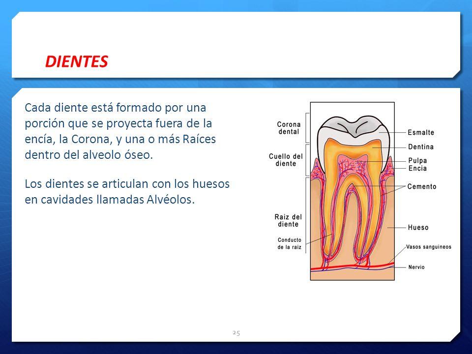 DIENTES Cada diente está formado por una porción que se proyecta fuera de la encía, la Corona, y una o más Raíces dentro del alveolo óseo. Los dientes