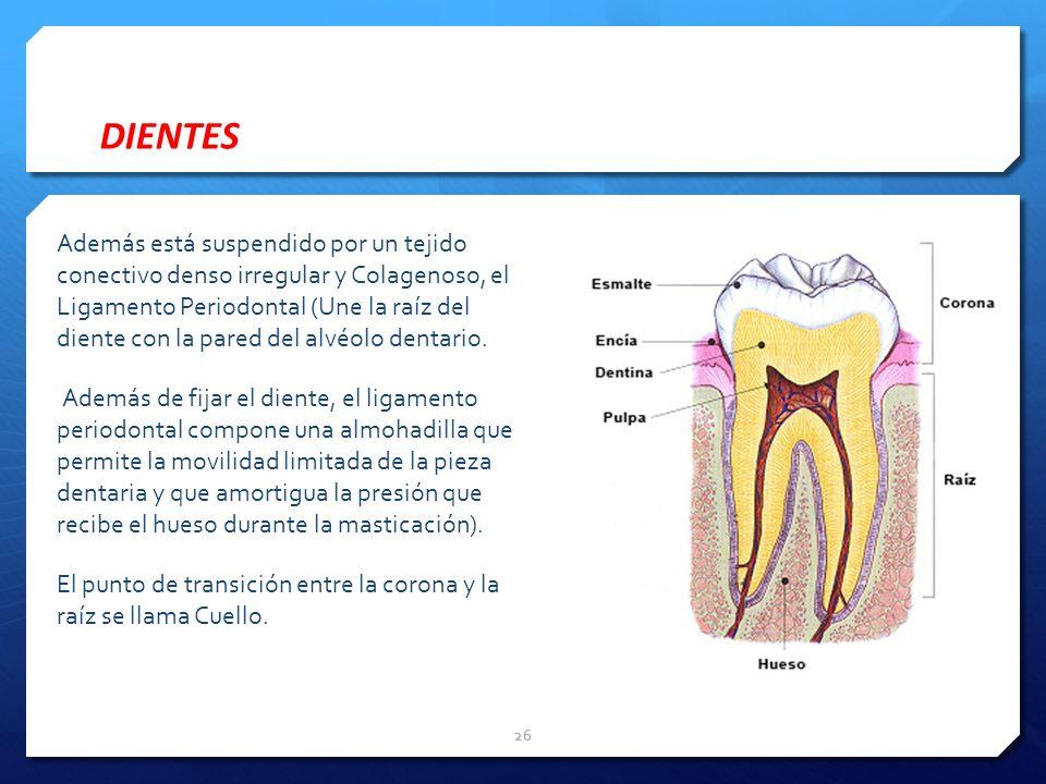 DIENTES Además está suspendido por un tejido conectivo denso irregular y Colagenoso, el Ligamento Periodontal (Une la raíz del diente con la pared del