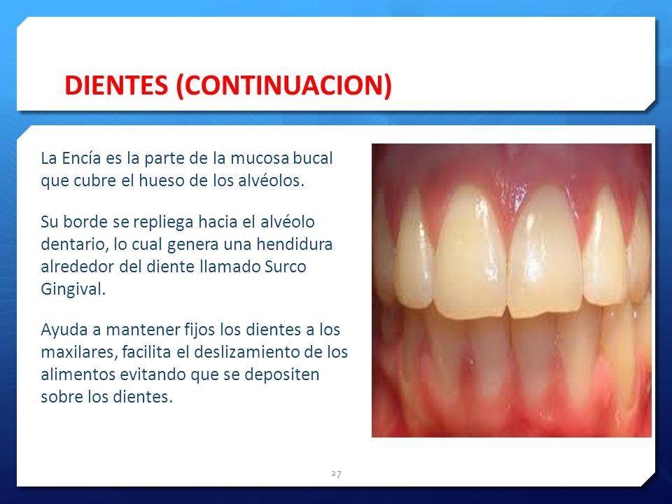 DIENTES (CONTINUACION) La Encía es la parte de la mucosa bucal que cubre el hueso de los alvéolos. Su borde se repliega hacia el alvéolo dentario, lo