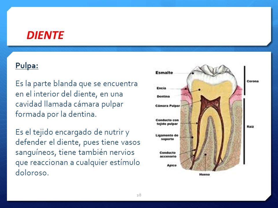 DIENTE Pulpa: Es la parte blanda que se encuentra en el interior del diente, en una cavidad llamada cámara pulpar formada por la dentina. Es el tejido