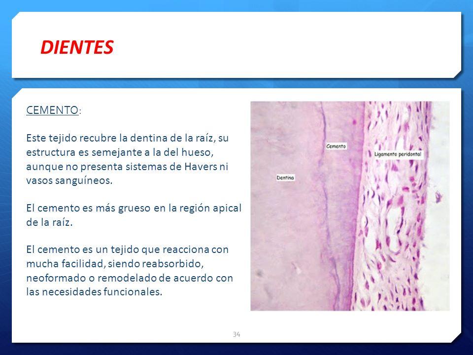 CEMENTO: Este tejido recubre la dentina de la raíz, su estructura es semejante a la del hueso, aunque no presenta sistemas de Havers ni vasos sanguíne