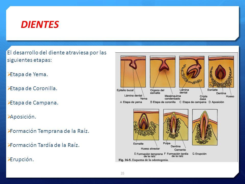El desarrollo del diente atraviesa por las siguientes etapas: Etapa de Yema. Etapa de Coronilla. Etapa de Campana. Aposición. Formación Temprana de la