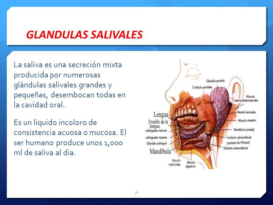 La saliva es una secreción mixta producida por numerosas glándulas salivales grandes y pequeñas, desembocan todas en la cavidad oral. Es un liquido in
