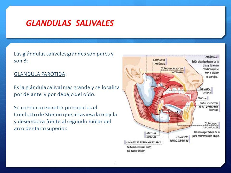 Las glándulas salivales grandes son pares y son 3: GLANDULA PAROTIDA: Es la glándula salival más grande y se localiza por delante y por debajo del oíd