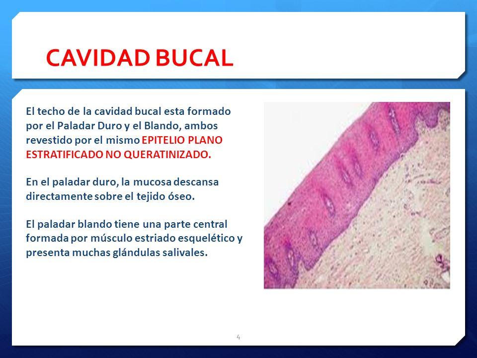 CAVIDAD BUCAL El techo de la cavidad bucal esta formado por el Paladar Duro y el Blando, ambos revestido por el mismo EPITELIO PLANO ESTRATIFICADO NO