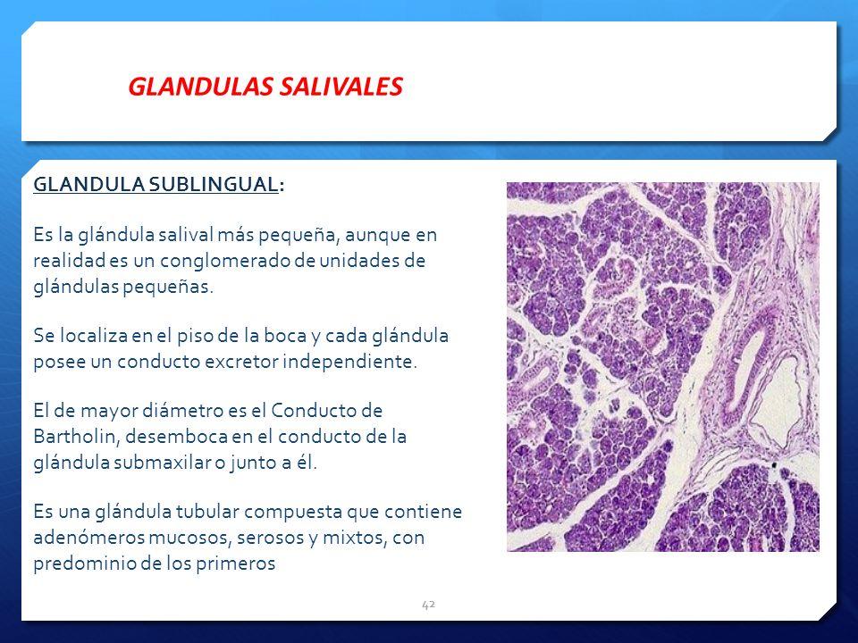 GLANDULA SUBLINGUAL: Es la glándula salival más pequeña, aunque en realidad es un conglomerado de unidades de glándulas pequeñas. Se localiza en el pi