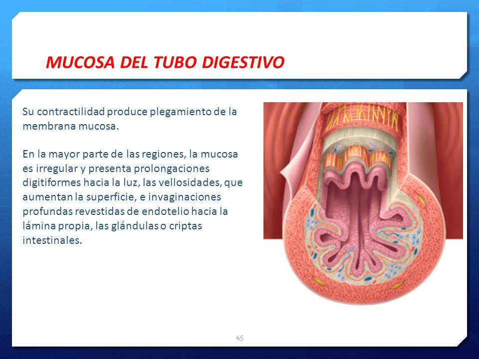 MUCOSA DEL TUBO DIGESTIVO Su contractilidad produce plegamiento de la membrana mucosa. En la mayor parte de las regiones, la mucosa es irregular y pre