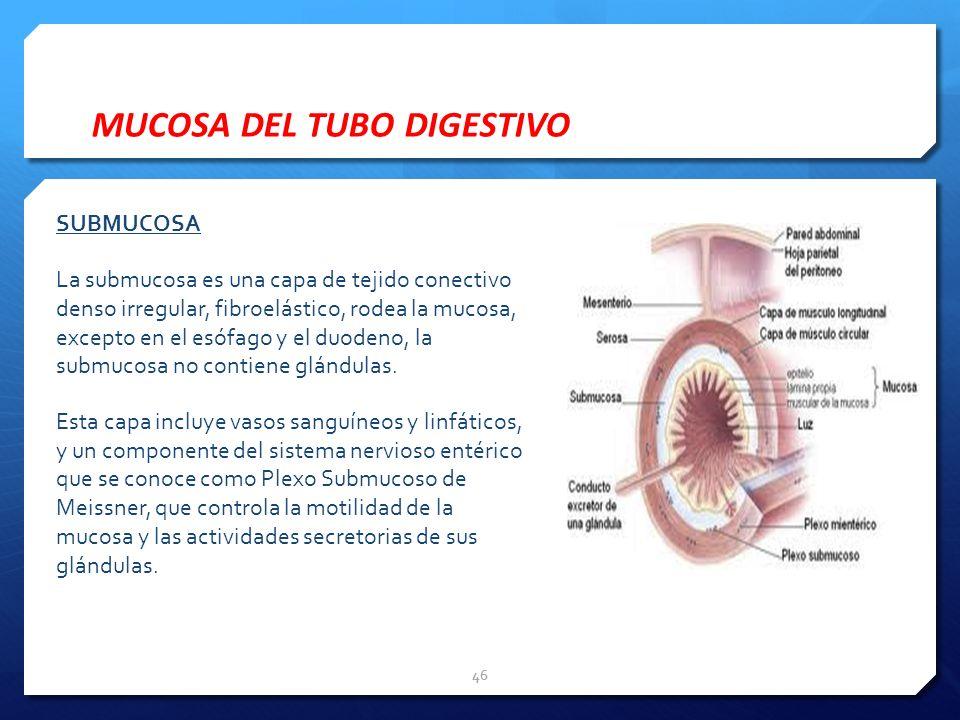 SUBMUCOSA La submucosa es una capa de tejido conectivo denso irregular, fibroelástico, rodea la mucosa, excepto en el esófago y el duodeno, la submuco