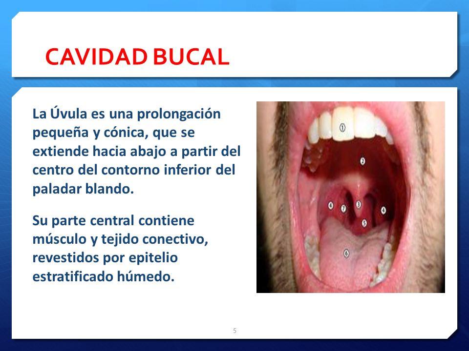 DIENTES Además está suspendido por un tejido conectivo denso irregular y Colagenoso, el Ligamento Periodontal (Une la raíz del diente con la pared del alvéolo dentario.