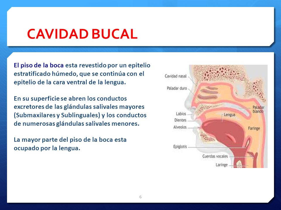 CAVIDAD BUCAL El piso de la boca esta revestido por un epitelio estratificado húmedo, que se continúa con el epitelio de la cara ventral de la lengua.
