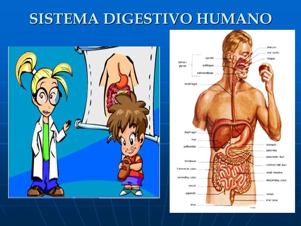 EL INTESTINO DELGADO El quimo sale del estómago a través del píloro y llega al intestino delgado que consta de tres partes: el duodeno, el yeyuno y el íleon.