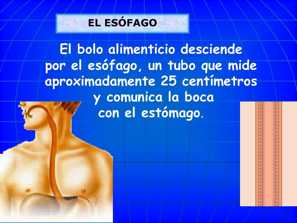 FARINGE FARINGE La faringe es un tubo muscular que comunica el aparato digestivo con el respiratorio. La faringe es un tubo muscular que comunica el a
