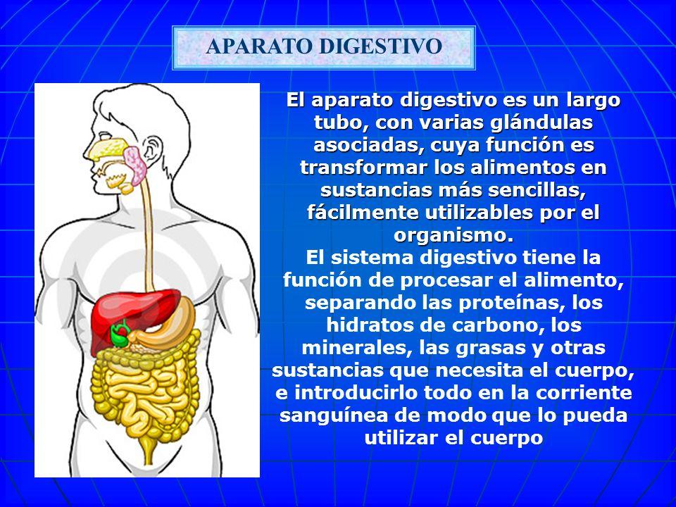 APARATO DIGESTIVO El aparato digestivo es un largo tubo, con varias glándulas asociadas, cuya función es transformar los alimentos en sustancias más sencillas, fácilmente utilizables por el organismo.