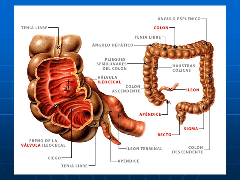 EL INTESTINO GRUESO El tubo digestivo continua por el intestino grueso. Mide algo más de metro y medio y tiene tres partes: colon ascendente, colon tr