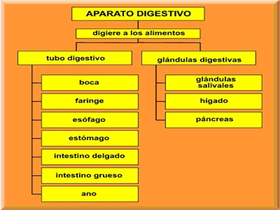 DIGESTIÓN INTESTINAL En el duodeno, el quimo se mezcla con los jugos intestinales, la bilis que segrega el hígadohígado hígado hígadoy el jugo pancreático y se transforma en una sustancia llamada quilo.