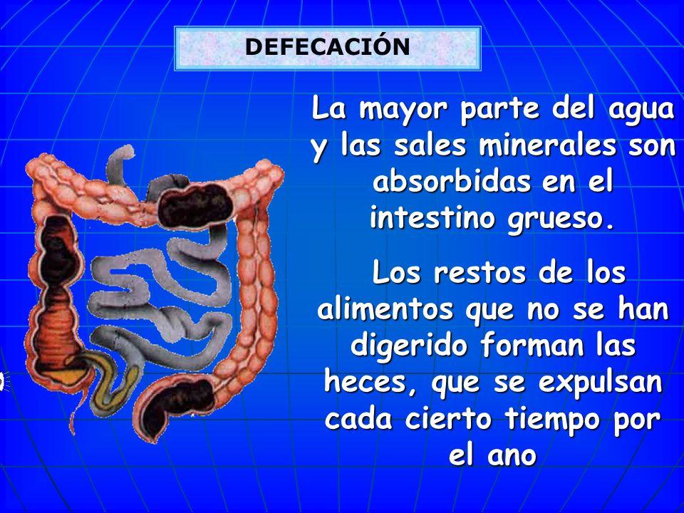 Intestino grueso: El intestino grueso es un amplio tubo ondulado que recibe el producto resultante de la digestión del intestino delgado y lo transpor