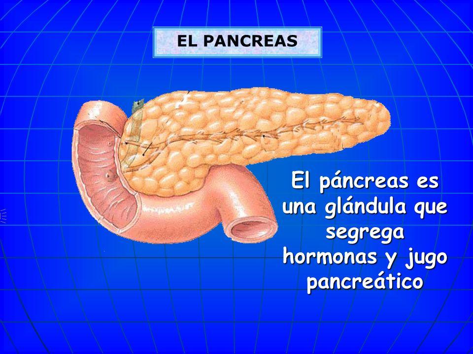 Vesícula biliar: La vesícula biliar tiene la función de concentrar y almacenar la bilis que produce el hígado en forma diluida y secretar la bilis a t