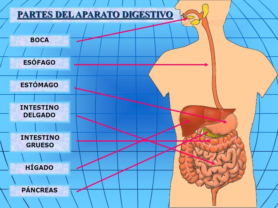 COMPOSICIÓN DE LOS JUGOS QUE VIERTEN AL INTESTINO Bilis Jugo intestinal Jugo pancreático agua sales inorgánicas sales biliares pigmentos biliares ácidos biliares grasas colesterol fosfatasa alcalina agua iones inorgánicos mucina lactasa, maltasa, sacarasa lipasa intestinal peptidasas enteroquinasa agua iones inorgánicos peptidasas inactivas carboxipeptidasas amilasa pancreática lipasa pancreática nucleasas pancreáticas