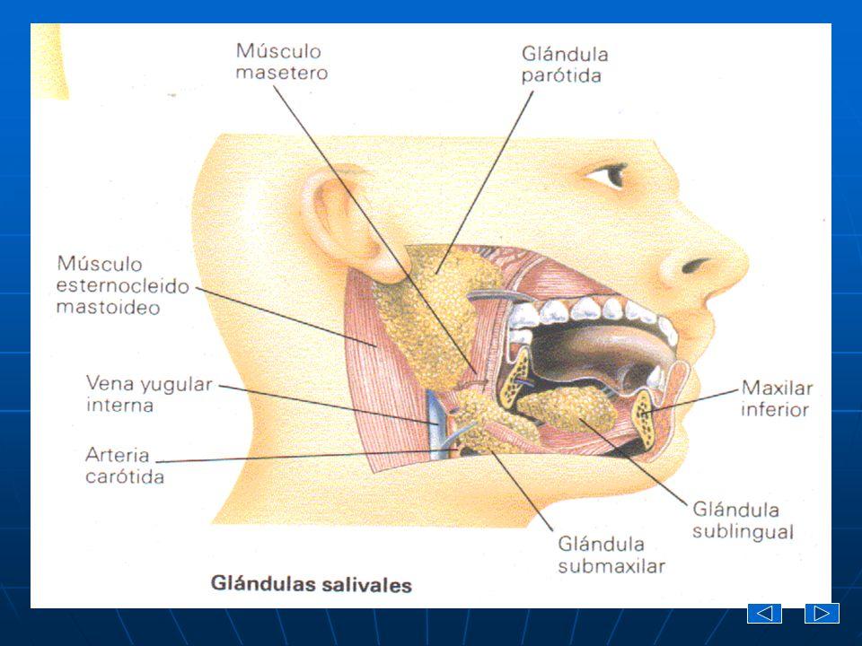 Existen tres pares de glándulas salivales: Existen tres pares de glándulas salivales: Las glándulas parótidas están situadas inferiores y anteriores a