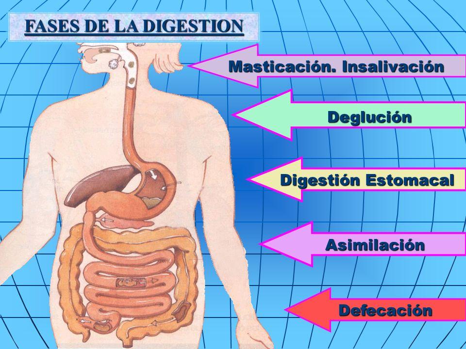 FASES DE LA DIGESTION Deglución Deglución Digestión Estomacal Asimilación Asimilación Masticación.